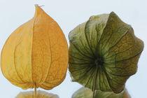 gelbe und grüne Physallis von Gisela Peter