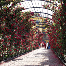 WIEN. Schönbrunn - Ein Tunnel aus Rosen von li-lu