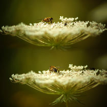 Mistbiene auf weißer Blüte von Sabine Radtke