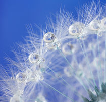 Dandelion and dew drops  by paganin