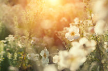 white daffodil in spring  von paganin