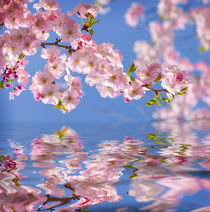 japanese cherry blossoms in spring mirroring  by paganin