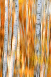 surreal birch trees at autumn von paganin