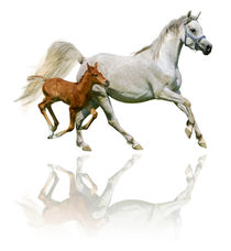 Arabian horses mare and foal in gallop  by paganin