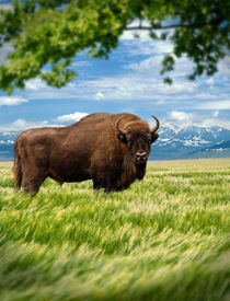 wisent in landscape looking at you by paganin