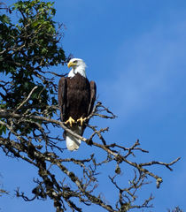 American Bald Eagle by wenslow