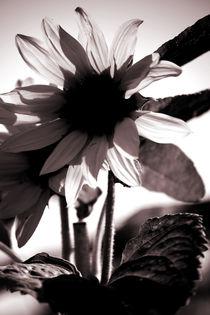 Sonnenblume by Bastian  Kienitz