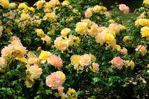 Dsc-2014-rosen