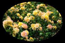 Rosenbeet von gscheffbuch