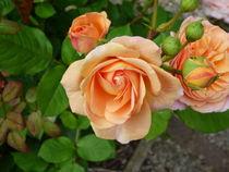 Rose von bibiblogsberg