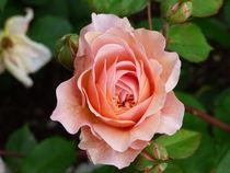 Rose by bibiblogsberg