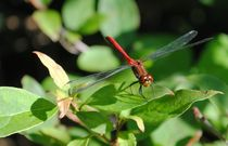 Red Dragonfly, 2015 by Caitlin McGee