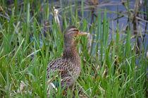 Duck  von bankierphotography