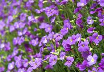 Violet flowers by Tobiasz Stefaniak