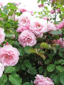 Blühender Rosenbusch von Heike Rau