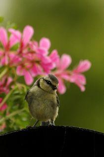 Blaumeisenjungvogel by Anja  Bagunk