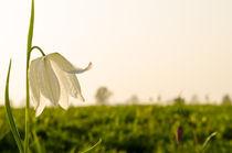 Weiße Schachblume von Dennis Südkamp