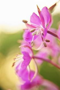 Rosa Blüten in der Abendsonne by Sandra Kaltofen