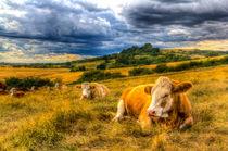 Resting Cows by David Pyatt