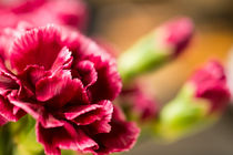 Wunderschöne Nelke by airde