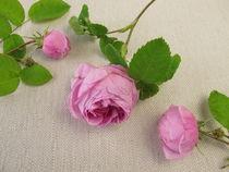 Damaszener Rosen von Heike Rau