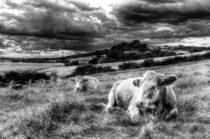 Resting Cows von David Pyatt