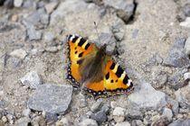 Schmetterling auf dem Weg by airde