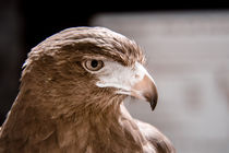 Nachdenklicher Adler von flylens