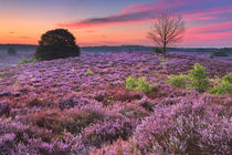 Blooming heather at dawn at the Posbank, The Netherlands by Sara Winter