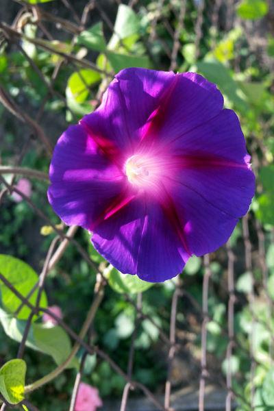Clear-purple-petals-bun