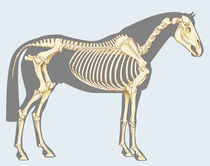 Horse skeleton von William Rossin