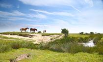 Norderney-pferde2