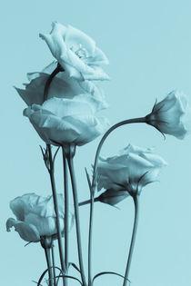 weiße Blüten von Gisela Peter