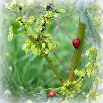 the ladybugs by feiermar