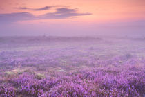 Fog over blooming heather near Hilversum, The Netherlands at dawn von Sara Winter