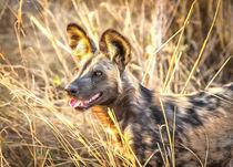 Alert African Wild Dog von Graham Prentice