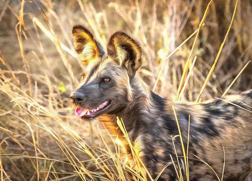 Wilddog01