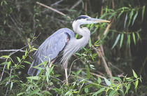 Blue Egret In The Everglades by Dean Perrus