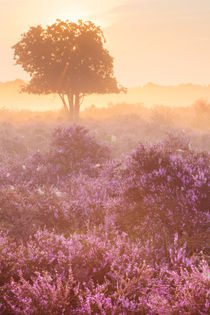 Fog over blooming heather near Hilversum, The Netherlands at sunrise von Sara Winter