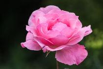 Rose or Lotus ? by Florentina Necunoscutu de Carvalho