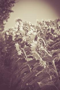 Sonnenblumen by Christina Beyer