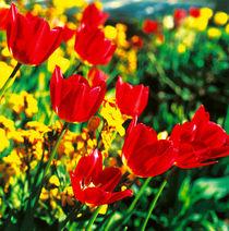 Tulpen. Farbenfrohe Frühlingsboten. von li-lu