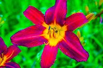 Scarlet Daylily by Vincent J. Newman