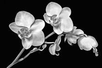 Orchidee schwarz weiß by darlya