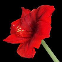 Rote Amaryllis von darlya