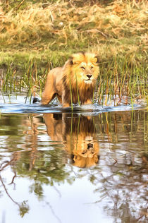 Lion in River with Reflection von Graham Prentice