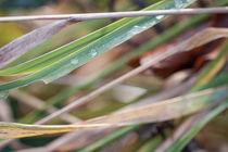 Gräser am Morgen by vivorama