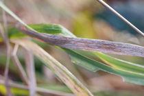 Müdes Gras von vivorama