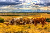 The Friendly Cows von David Pyatt
