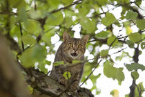 cat high up in tree meow by anja-juli